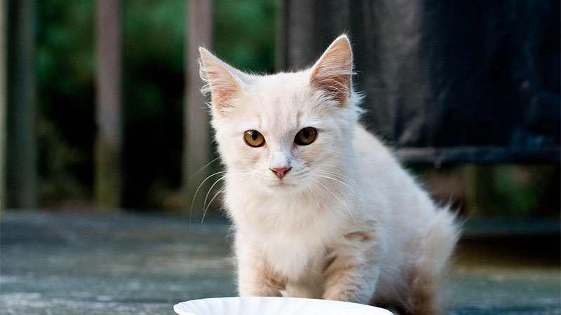 Can Cats Drink Almond Milk Is It Toxic For Your Kitty