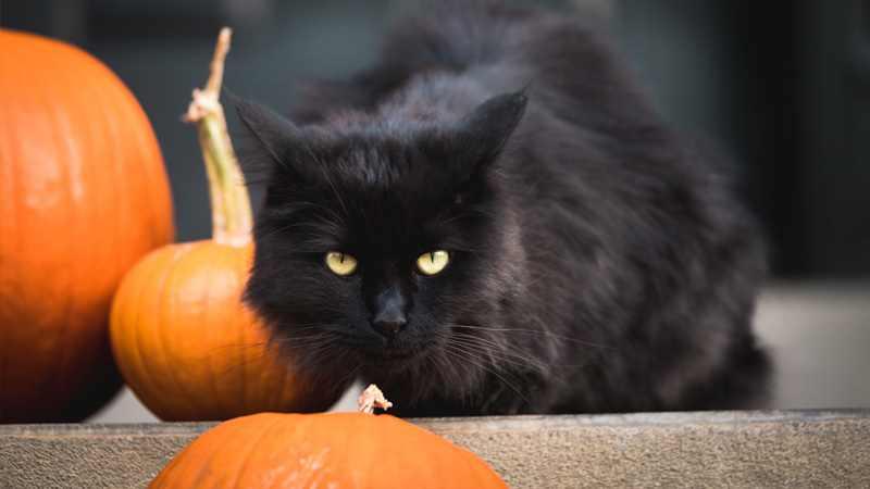 cat constipation pumpkin