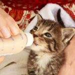 Can Cats Drink Baby Formula?