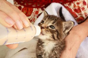 Can Cats Drink Baby Formula