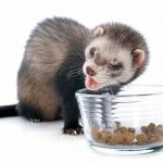 How Long Can A Ferret Survive Without Food Or Water?
