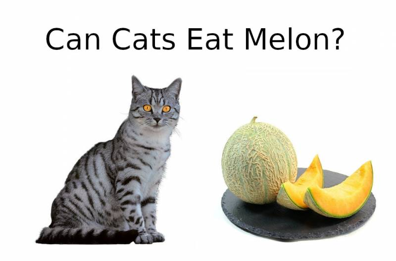 CAN CATS EAT Melon