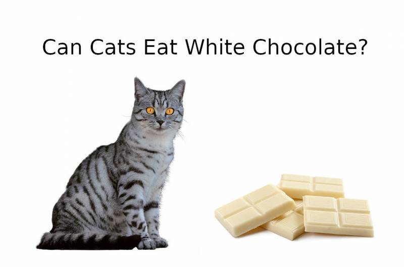 CAN CATS EAT White Chocolate