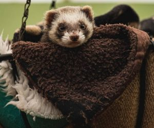 How To Bond With Your Ferret? 10 Things To Be Aware Of