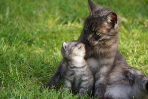 What do mother cats do with a dead kitten