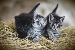how long can newborn kittens survive without their mother