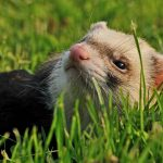 How To Calm A Ferret Down? - Guide