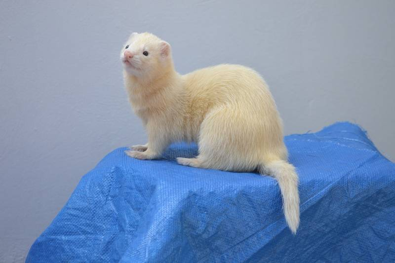 Ferrets are lively and fun animals to be around