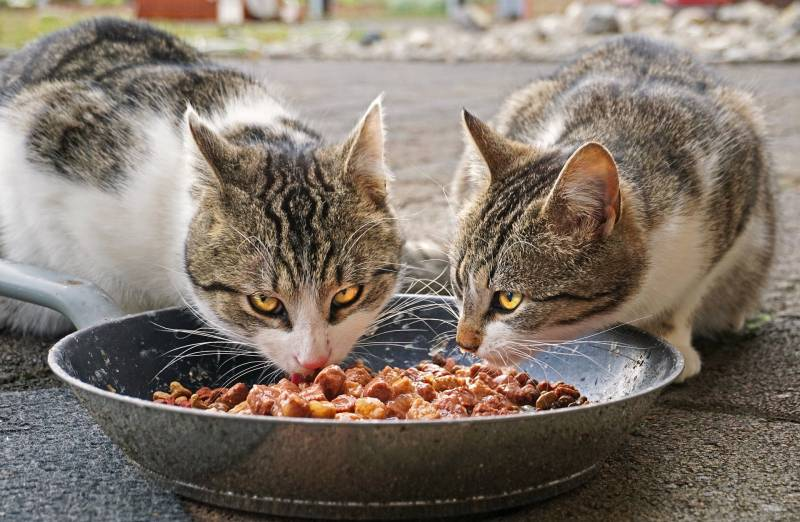 How Often Should a Cat Poop on Wet Food