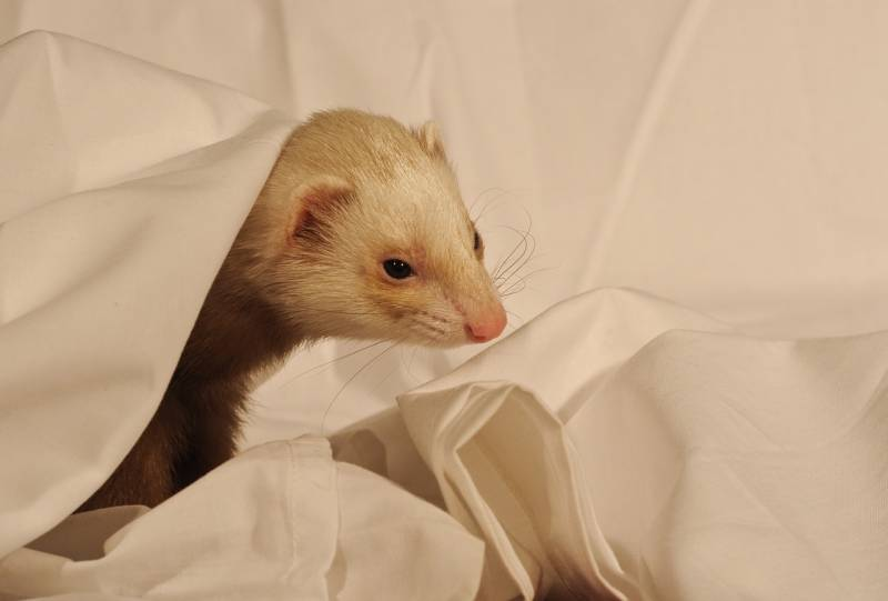 My Ferret Stopped Using the Litter Box