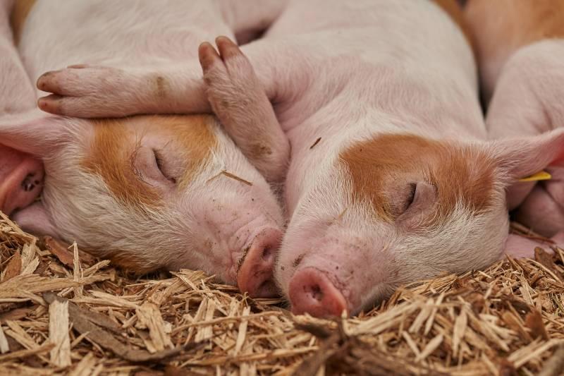 How To Sedate A Pig For Hoof Trim