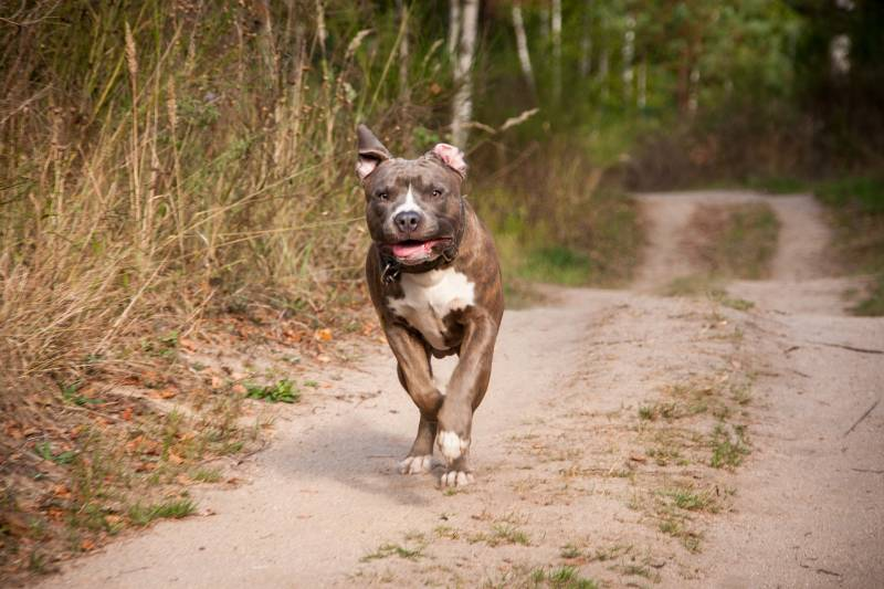 My Dog was Attacked by a Pitbull – What should I do
