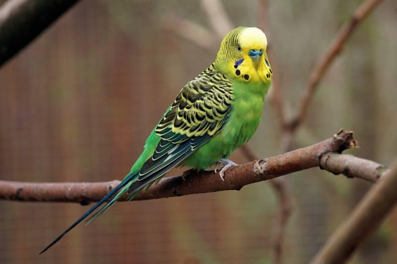 Reasons Parakeets Chirp