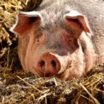 How To Sedate A Pig For Hoof Trim [Full Guide]