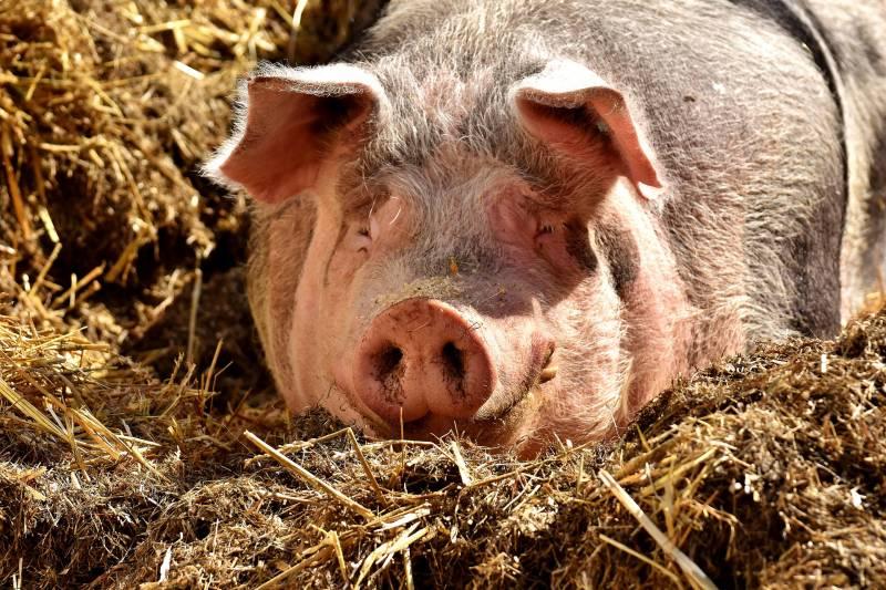 Sedating A Pig For Hoof Trim