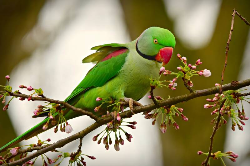 why do parakeets chirp