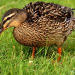 Duck Leg Problems - Full Guide