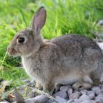 How To Potty Train A Rabbit? (Step-by-step Guide)