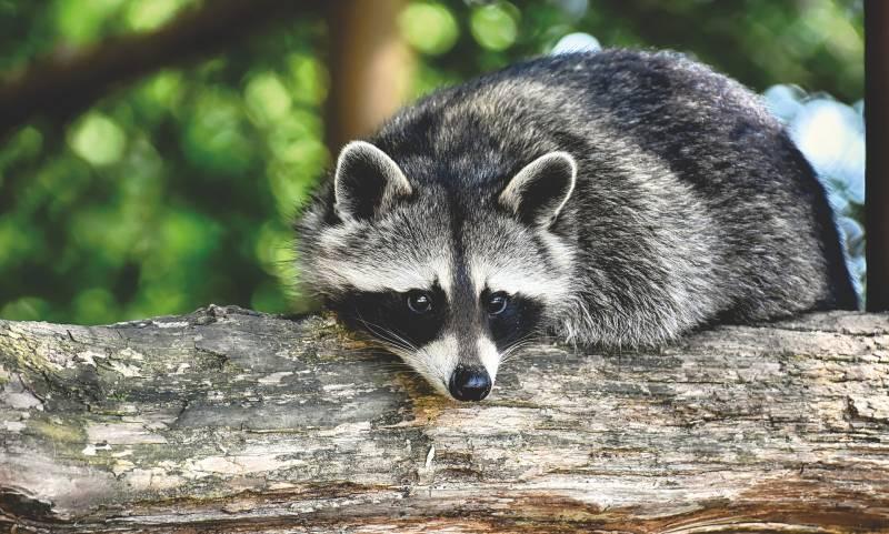 How to Train a Raccoon