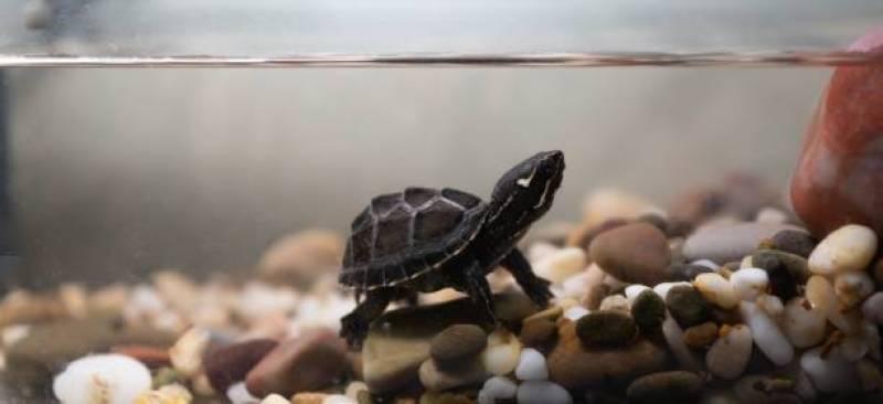 Musk turtle tank setup