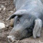 My Pig Is Down And Won't Get Up - Top Reasons Why