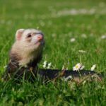 Why Do Ferrets Smell? [All Reasons Explained!]