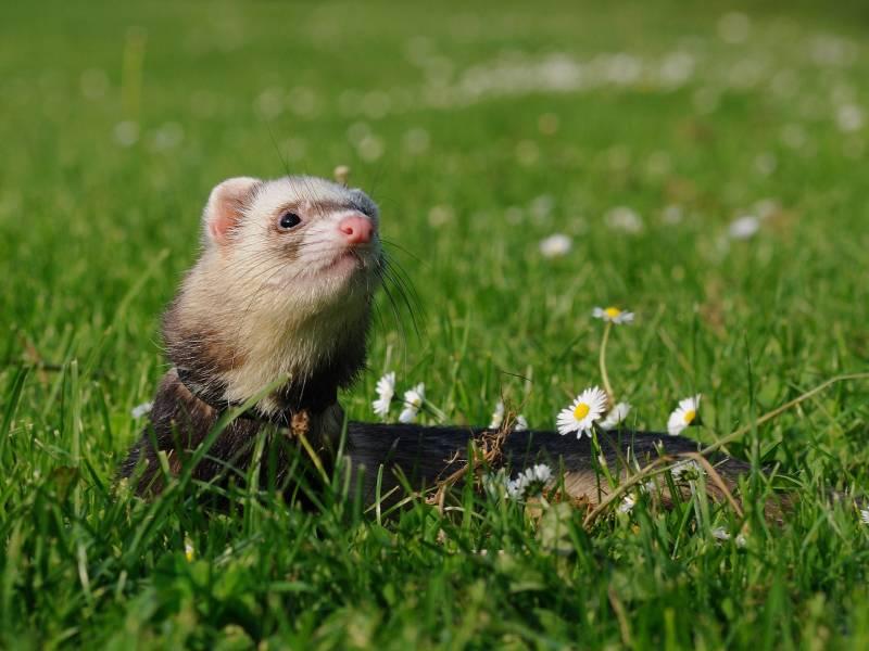 Reasons Ferrets Smell