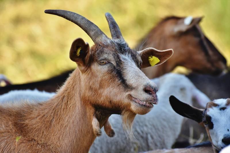 Reasons Goats Scream