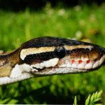 Why Do Snakes Eat Themselves? - Reasons Explained