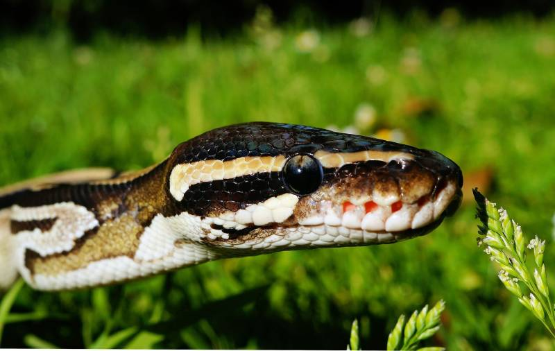 Reasons Snakes Eat Themselves