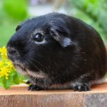 Why Do Guinea Pigs Purr? - Top Reasons