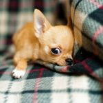 Why Are Chihuahuas So Mean? - Most Surprising Reasons!
