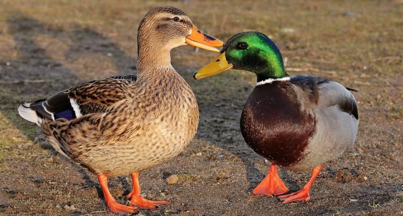 Reasons why ducks quack