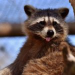 How To Train A Raccoon - Guide & Things To Know