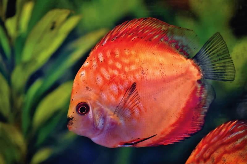 Treating Swim Bladder Disease in Fish