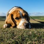 Top Causes Of Heart Disease In Dogs