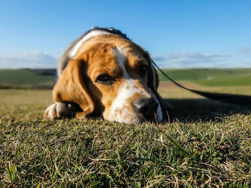 What Causes Heart Disease In Dogs