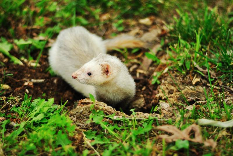 Why Do Ferrets Smell