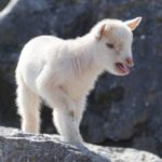 Why Do Goats Scream? - Top Reasons Explained