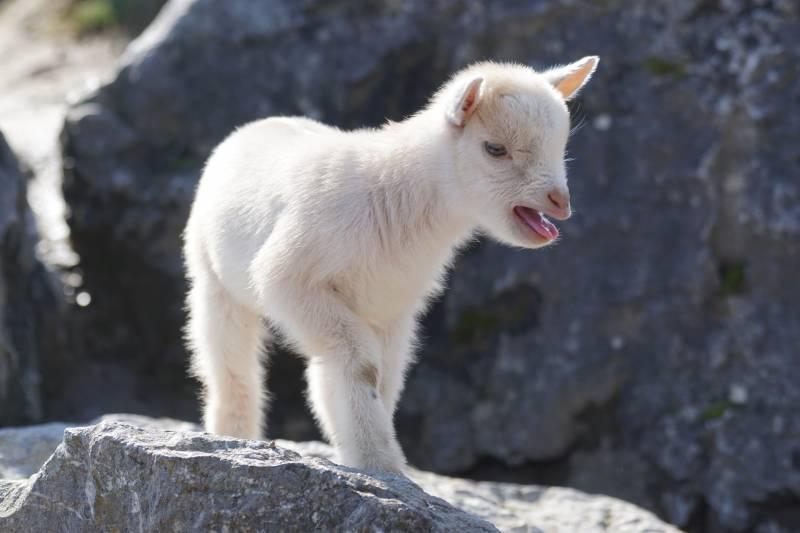 Why Do Goats Scream