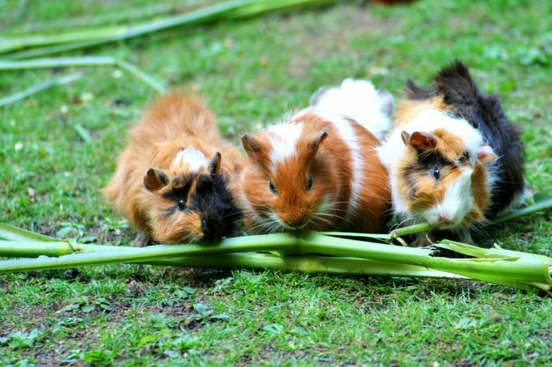 Why Do Guinea Pigs Purr