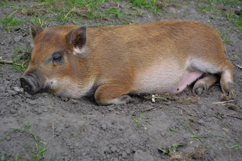 Why Is My Pig down and won't get up