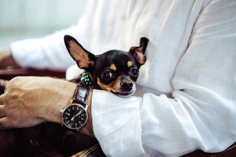Why are chihuahuas so mean?