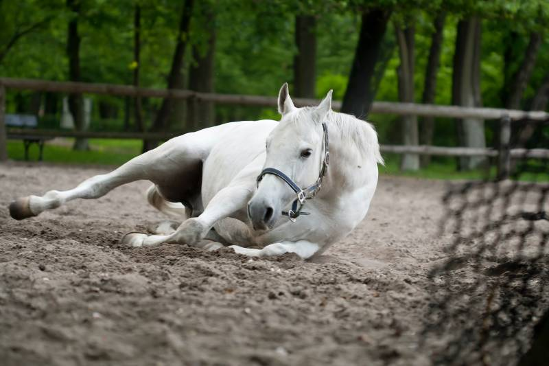 Why some Horses fall after mating