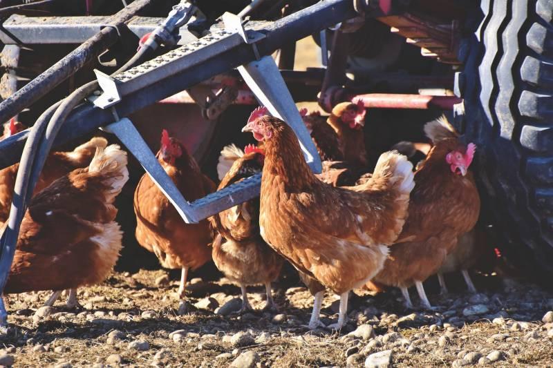 Chicken Comb Turning Purple