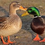 Duck Body Language – Guide