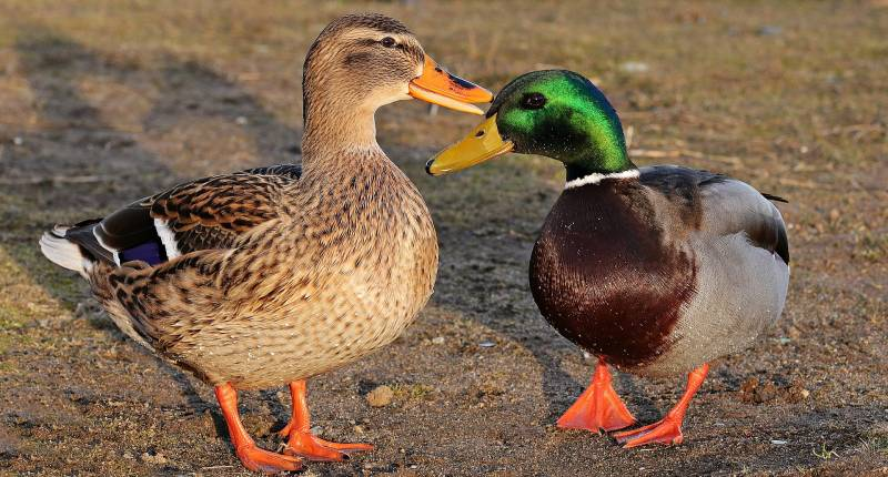 Duck Body Language Meaning