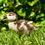 Ducklings Sneezing And Coughing? Here's Why!