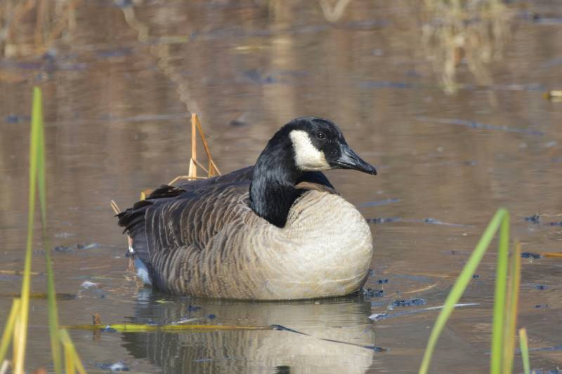 Reasons Canadian Geese Are Protected