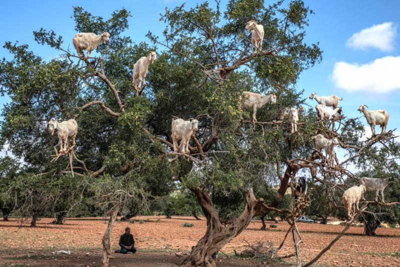 Reasons Goats Climb Trees